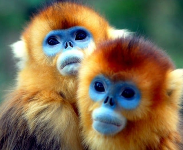 sneezing-monkey-790x529