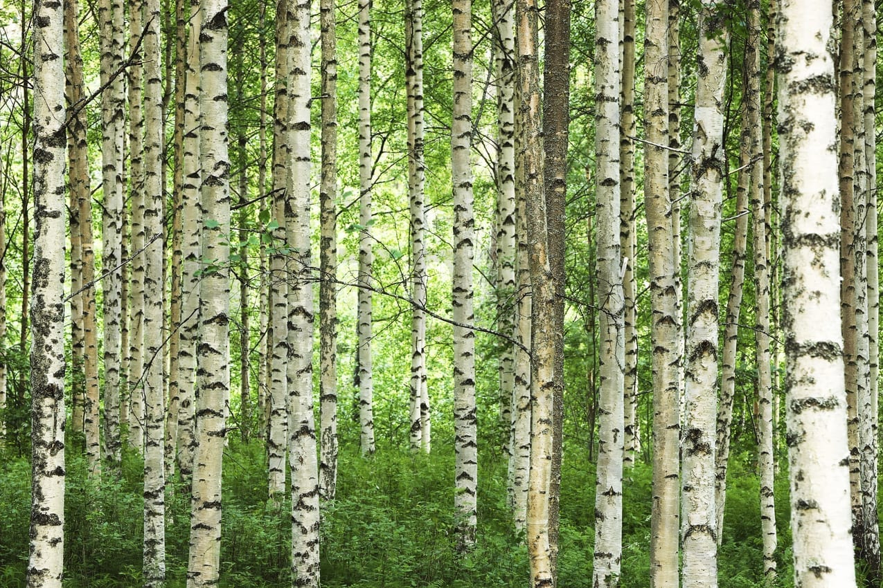 Weekly roundup the best of pop culture x science 52 for Birch trees wall mural